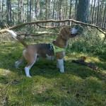 Glad Beagle!